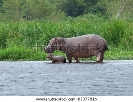 a Hippo cow and calf wading waterside in Uganda (Africa) - stock photo