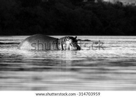 A hippo stares at the camera in this wildlife photo taken on the banks of the river. South Africa - stock photo