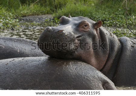 A hippopotamus appears to smile as it rests its head on the back of a herd mate in Lake Manyara National Park, Tanzania. - stock photo