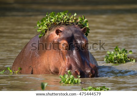 A Hippopotamus (Hippopotamus amphibius) half-submersed in water with Common Water Hyacinth (Eichhornia crassipes) on its head.