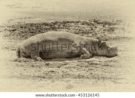 A hippos resting on the banks of the river in the Chobe National Park - Botswana, South-West Africa (stylized retro) - stock photo