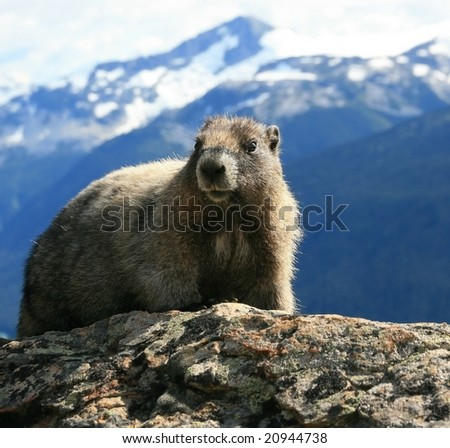 A hoary marmot near Whistler, British Columbia, Canada with Garibaldi Provincial Park in the background.