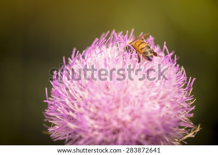 A honey bee collecting pollen  - stock photo