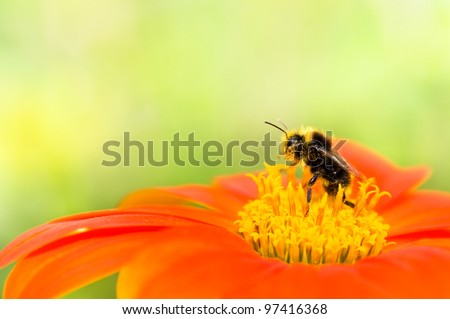 A honey bee collecting pollen on an orange flower with yellow center. Soft focus on the bee with bright green background. - stock photo