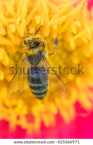 A honey bee covered with the pollen of a yellow flower - stock photo