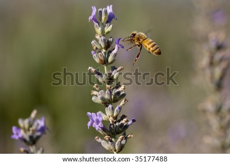 A honey bee flying to a lavender bush - stock photo