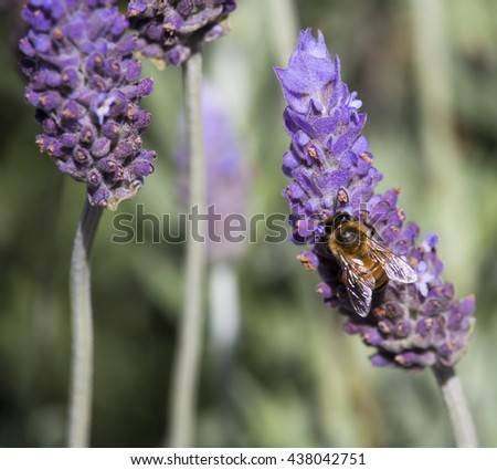 A honey bee gathers pollen from the scented purple  flowers of English lavender lavandula officinalis  blooming in  the garden with their heavily  fragrant  flower spikes  in spring and summer. - stock photo