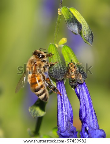 A Honey Bee Nectaring On Purple Flowers, Apis?Mellifera - stock photo