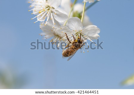 A honey bee on a blossoms
