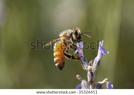 A honey bee on a lavender plant - stock photo