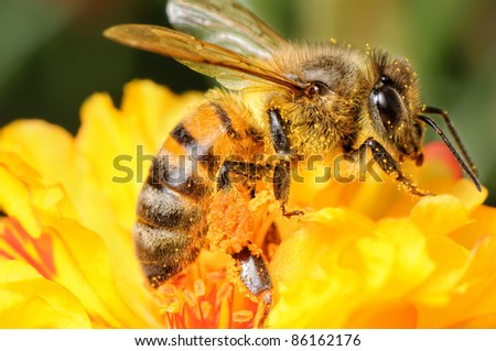 A honey bee thick with stamen