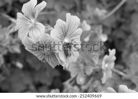 A honey bee uses its proboscis to take nectar from a geranium flower - monochrome processing - stock photo