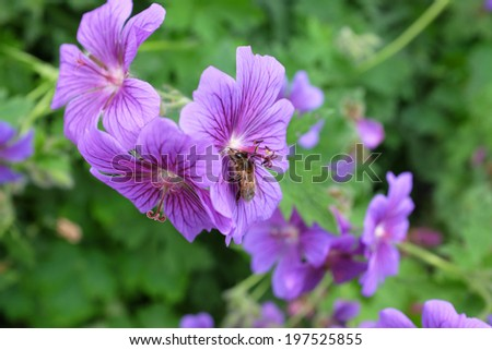 A honey bee uses its proboscis to take nectar from a purple geranium flower - stock photo