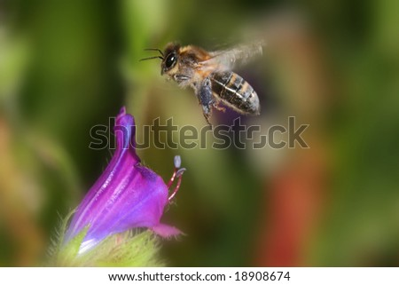 A honeybee flying over a flower - stock photo