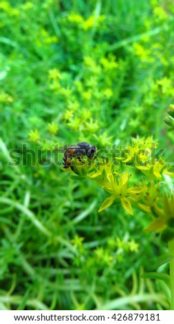 A honeybee helping in polliniion on a yellow wild flower in the Indian tropics.                                - stock photo