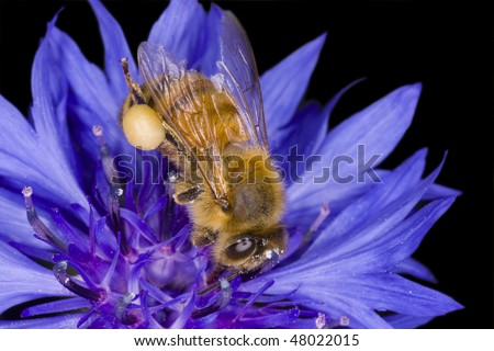 A honeybee with a swollen pollen sac digs into a flower for a little more. Macro image. - stock photo