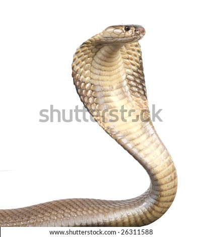 a hooded cobra in strike position - stock photo