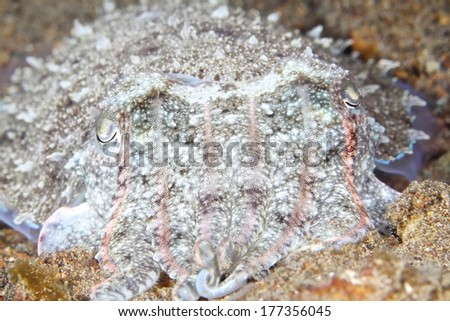 A hooded Cuttlefish rears up out of the sand. - stock photo