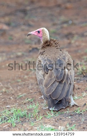 A Hooded Vulture in the Kruger National Park, South Africa. - stock photo