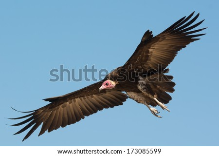 A Hooded Vulture (Necrosyrtes manachus) coming in for a landing - stock photo