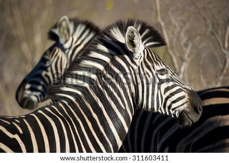 A horizontal, close up, colour photograph of a pair of zebras, Equus zebra, standing close together at Elephant Plains, Sabi Sands Game Reserve, Mpumalanga province, South Africa. - stock photo
