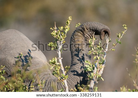 A horizontal, close up, cropped, colour photograph of and elephant's trunk raised and ready to nip tiny green leaves from a branch at Elephant Plains, Sabi Sands Game Reserve, South Africa. - stock photo
