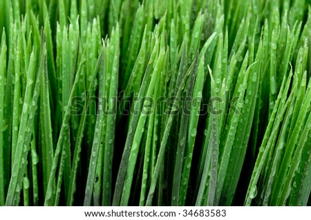 A horizontal close up of dew on green grass