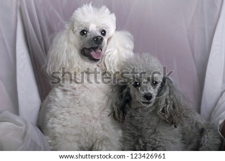 A horizontal close up portrait of a white miniature poodle and a gray toy poodle against a soft, white drape.