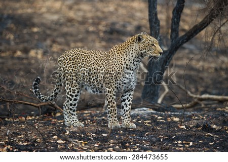 A horizontal, colour image of a leopard standing on recently burnt earth. - stock photo