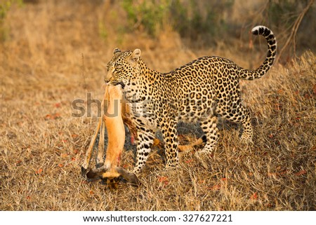 A horizontal, colour image of a leopard walking through dry grass in golden light with a half-eaten kill at Elephant Plains, Sabi Sands Game Reserve, Mpumalanga province, South Africa. - stock photo