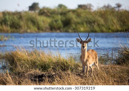 A horizontal, colour image of a lone reedbuck, Redunca arundinum, standing beside a dam in side light and looking into the camera at Kwando Camp in the Linyanti Swamps. - stock photo