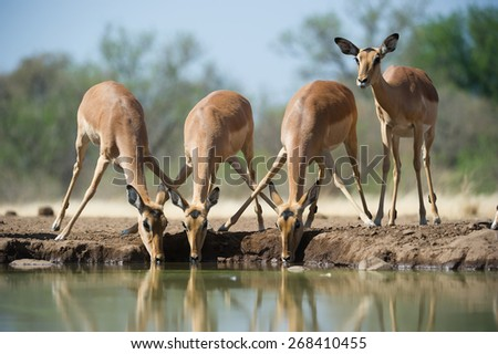 A horizontal , colour image of four impalas at a waterhole. - stock photo