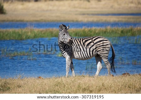 A horizontal, colour image of one zebra, Equus zebra, looking over his shoulder in front of a bright blue water source at Kwando Camp, Linyanti Swamps. - stock photo