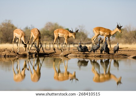 A horizontal, colour photo of four impala and a small flock of guinea fowl and their reflections in a waterhole - stock photo