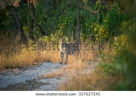 A horizontal, colour photograph of a leopard standing on a two-track gravel road, staring into the camera, at Elephant Plains, Sabi Sands Game Reserve, Mpumalanga Province, South Africa. - stock photo