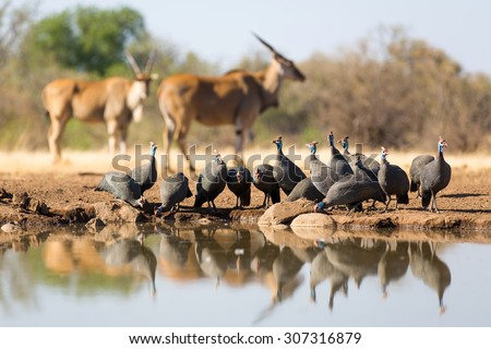 A horizontal, colour photograph of a small flock of helmeted guinea fowl gathered at a waterhole with two out of focus eland in the background in Mashatu Game Reserve, Northern Tuli, Botswana.
