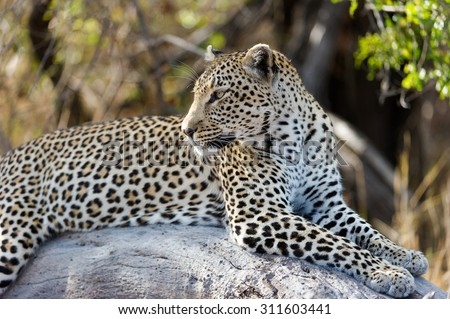 A horizontal, colour photograph of an alert leopardess, Panthera pardus, resting on a rock in Elephant Plains, Sabi Sands Game Reserve, Mpumalanga province, South Africa. - stock photo