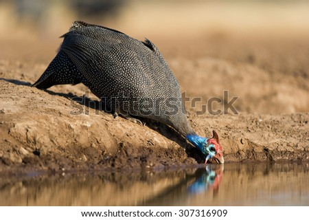 A horizontal, full view, low angle colour photograph of a helmeted guinea fowl standing on dry mud and leaning down to drink at a waterhole in Mashatu Game Reserve, Northern Tuli, Botswana. - stock photo
