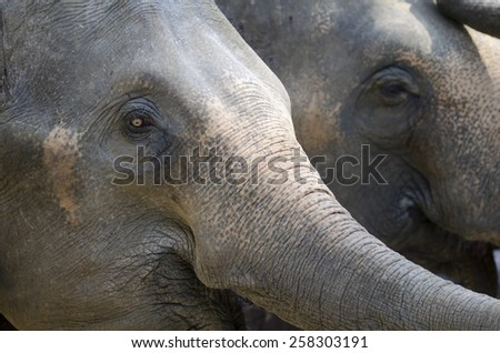 A horizontal image of 2 asian elephants in Thailand