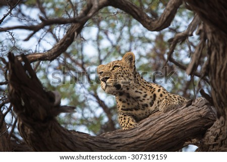 A horizontal, low angle, colour image of a young leopard, Panthera pardus, staring intently out from a natural frame of the tree she is resting in in the Okavango Delta, Botswana. - stock photo