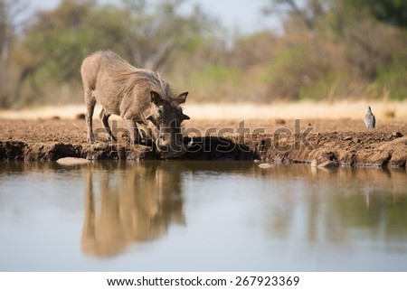 A horizontal, low angle, colour photo of a large warthog, down on his knees, drinking at a waterhole in Botswana. - stock photo