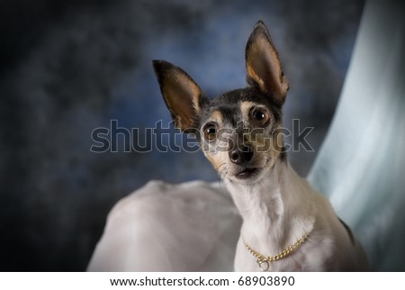 A horizontal low-key studio portrait of a Toy Fox Terrier against blue. - stock photo