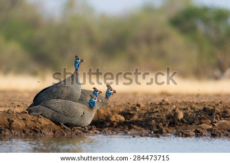 A horizontal photo of four helmeted guinea fowl at the edge of a waterhole in Mashatu, Botswana - stock photo