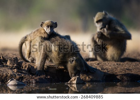 A horizontal photo of three baboons at a waterhole; one eating, one drinking, and one looking at the camera. - stock photo