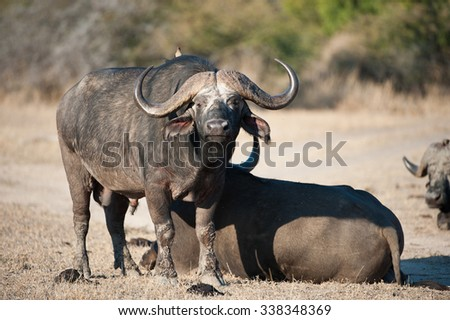 A horizontal, side lit, full length colour image of a Cape buffalo bull standing and looking at the camera beside another resting on the dry ground, at Sabi Sands Game Reserve, South Africa. - stock photo
