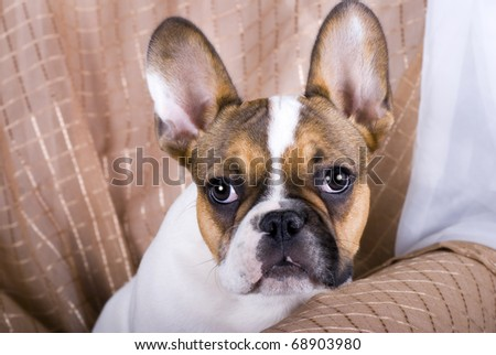 A horizontal studio portrait of a five month old French Bulldog Puppy. - stock photo
