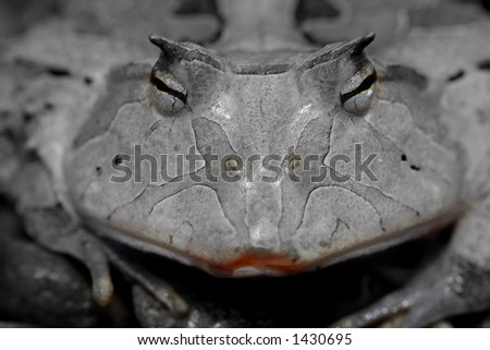 A horned frog smiles for the camera. The image is desturated with the exception of her very pink lips, and her eyes. - stock photo