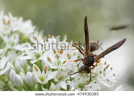 a hornet on the chive flower