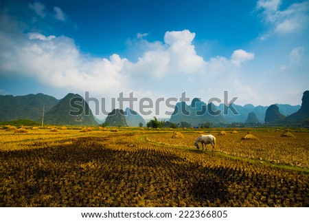 A horse in rice field after harvest in Cao bang, Vietnam