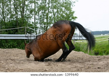 A horse kneeling in the sand to lay down to roll